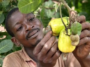 granjero, inspección, anacardo, fruta