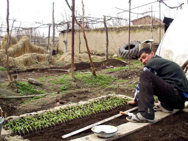 фермер, беручи участь, фінансуються, сільського господарства, розвиток проекту рослини, помідор, Саджанці