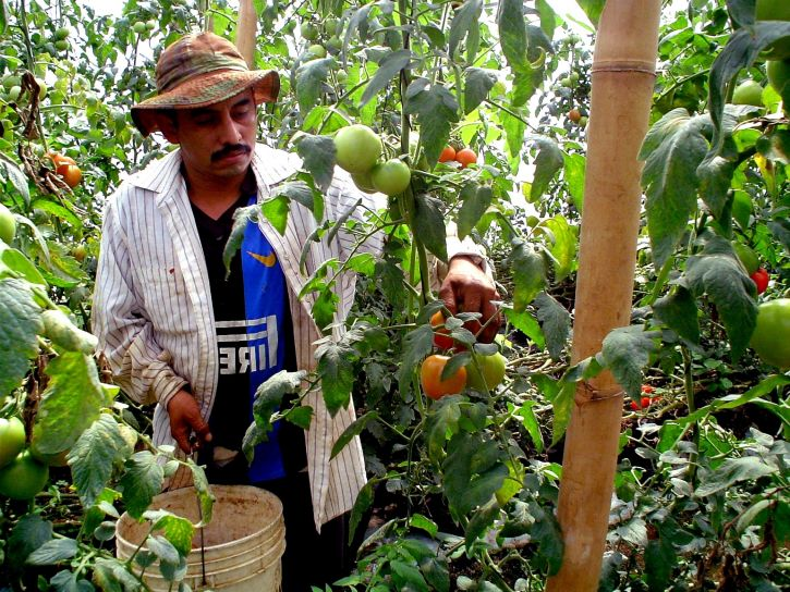 farmer, works, tomato, harvest, greenhouse, Jayaque, Libertad, southwestern, San Salvador