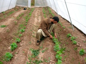 greenhouses, Afghanistanistan, farmer, production, fruits, vegetables