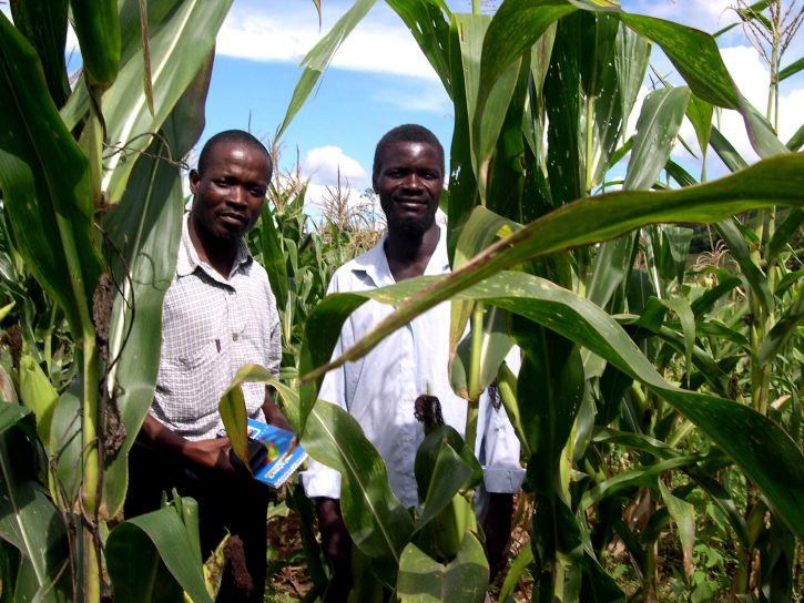 改善, 玉米, 生产