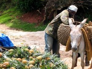 fermier, la Jamaïque, l'âne, l'ananas, les cultures