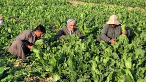 kurdes, les agriculteurs, les cultures