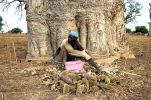 ember, gyűjt, gyümölcs, baobab fa, tápláló, természetes termék, egyre nagyobb, globális piaci