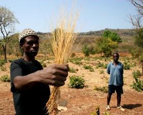 ο άνθρωπος, κατέχει, fonio, ζωοτροφών, σιτηρών, βοηθά στην οικογένεια, Σενεγάλη