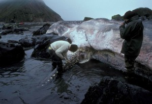 man, picture, beached, sperm, whale