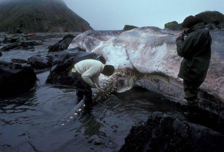 людина, малюнок на берег, сперми, кит