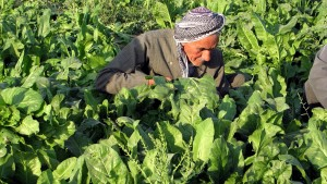 older man, Kurdish, farmer, field, working