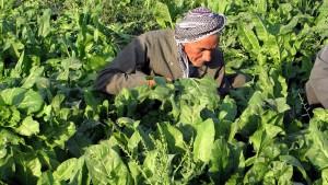 hombre mayor, curdo, granjero, campo, trabajando