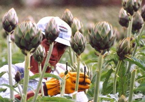 peruvian, farmer, tends, high, value, artichoke, crop, farm