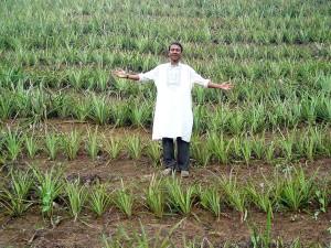 ananas, câmp, grindină, Haor, Bangladesh