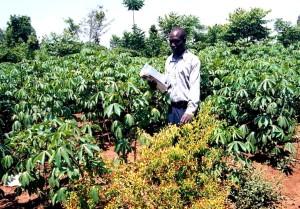 forsker, sjekk, cassava, feltet, mosaikk, virus, sykdom