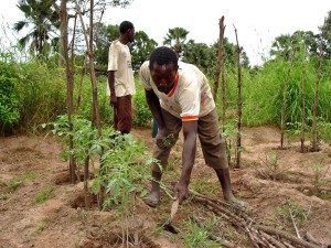 Senegal, granjero, cultivo, los tomates