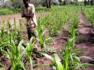 tassels, maize, severely, stunted, drought, province, should
