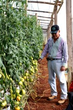 토마토, 농부, 검사, 토마토, 포도, 온실