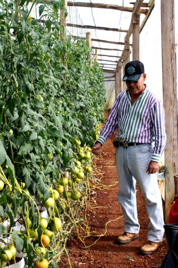 tomate, granjero, examinar, tomate, vid, invernadero