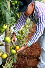 tomat, bonde, Rodolfo, Rivera, undersøker, tomat, vinranker, drivhus