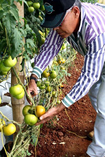 tomato, farmer, Rodolfo, Rivera, examine, tomato, vines, greenhouse