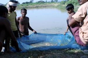trained, local, village, men, dig, fish, ponds, raise, carp, profit