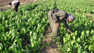 kaksi, kurdin viljelijät työskentelevät