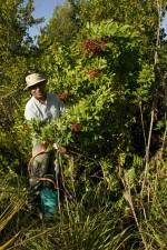 trabajador, impacto, brasileño, pimienta, planta, exótico, invasor