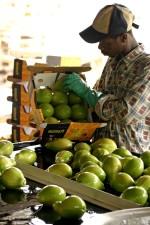 trabajador, embalaje, vestido, la papaya, la exportación