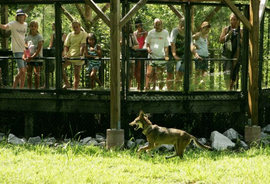 people, watching, captive, red wolf, canis rufus