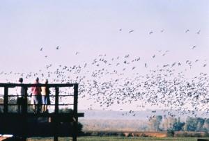 les gens, regarder, troupeau, oiseaux, oiseau, observation, pont