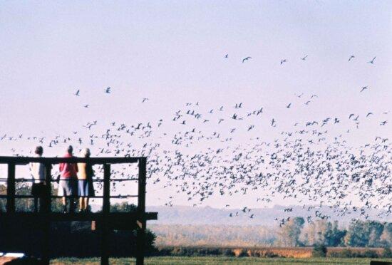 people, watching, flock, birds, bird, viewing, deck