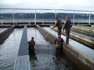 service, hatchery, staff, crowd, juvenile, salmon, raceway