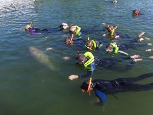 snorkelers, swim, manatee
