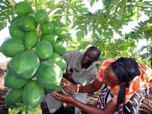 Afrique, l'agriculture, le programme, les couvertures, la recherche, l'augmentation de la productivité