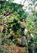 Etiopski, obitelj, posao, zajedno, dvorištu, voće, voćnjak