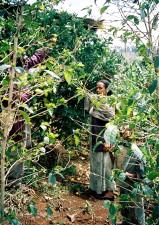 Ethiopian, family, work, together, backyard, fruit, orchard