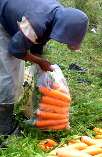 worker, village, Caman, packs, washed, carrots, hygienic, plastic, bags