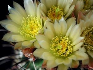 cactus, flower, flowerpot