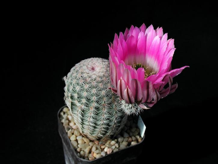 cactus, studio
