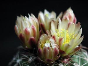 Kaktus, Nektar, Blüten, Makroaufnahme