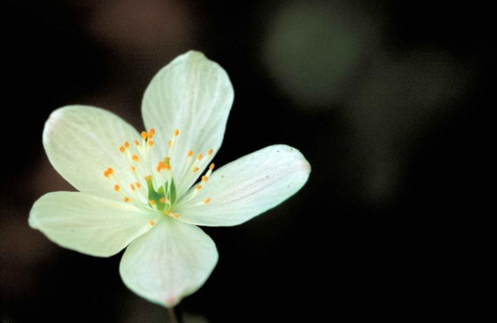 Kostenlose Bild: up-close, weiße Blume, grün, weiß, orange, Mitte