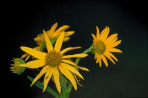 de près, fleurs jaunes, jaune, brun, centres