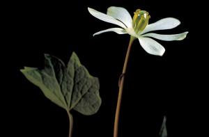 de près, blanc, fleur, twinleaf, fleurs