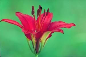 haute résolution, photographie, plante, rouge vif, fleur, long, sombre, rouge, étamines