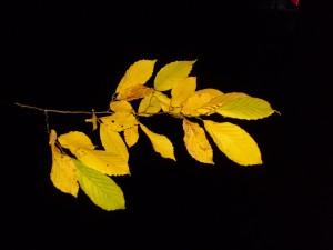 Blatt, Blätter, Zweig, Hainbuche, Herbst, Nacht, Studio