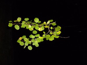 leaf, leaves, branch, poplar, night