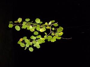 Blatt, Blätter, Zweig, Pappel, Nacht