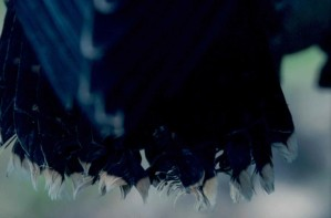 black, feathers, bird, close