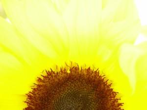 bright, backlit, sunflower