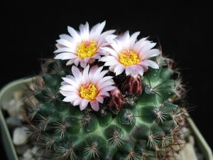 fiore di cactus bianco