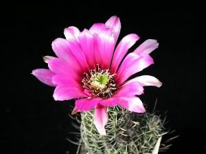 kaktusz, a részletek, a kép