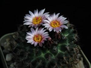 cactus, fleur, sombre, salle